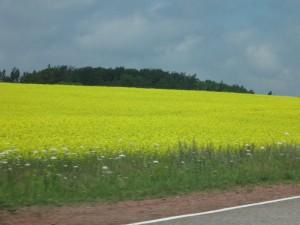 Canola field outside Summerside